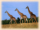 Kenya Lodge Tours & Safaris